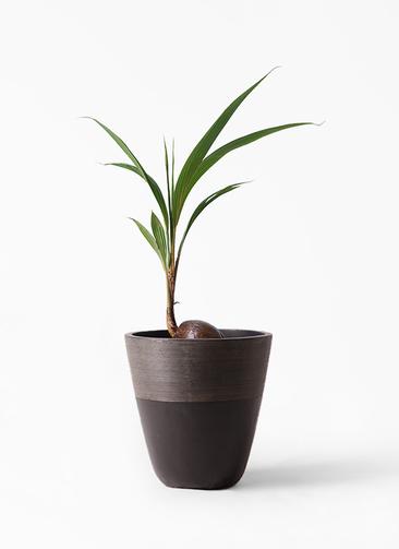 観葉植物 ココヤシ 7号 ジュピター 黒 付き