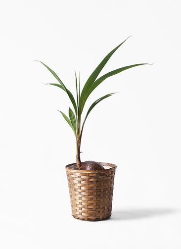 観葉植物 ココヤシ 7号 竹バスケット 付き