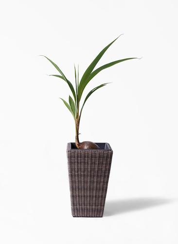 観葉植物 ココヤシ 7号 ウィッカーポット スクエアロング OT 茶 付き