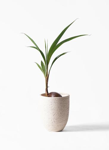 観葉植物 ココヤシ 7号 ビアスアルトエッグ 白 付き