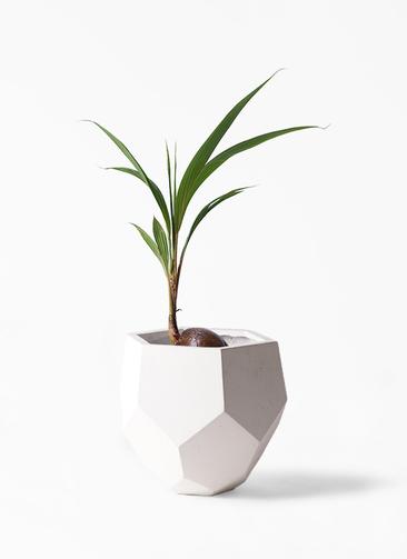 観葉植物 ココヤシ 7号 ポリゴヘクサ 白 付き