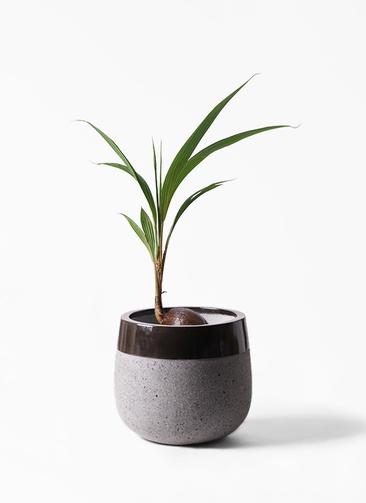 観葉植物 ココヤシ 7号 ファイバーストーンタウルス 黒 付き