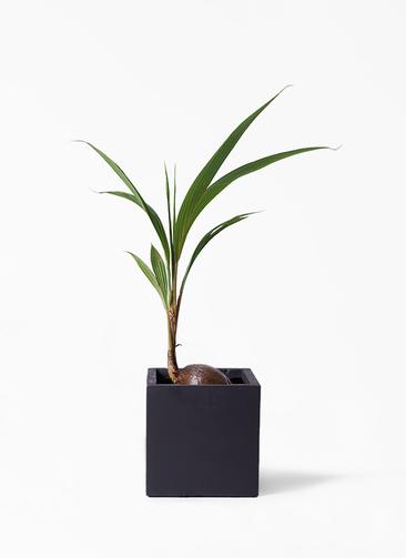 観葉植物 ココヤシ 7号 ベータ キューブプランター 黒 付き
