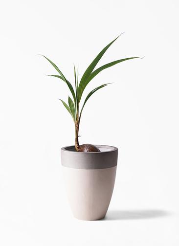 観葉植物 ココヤシ 7号 ファイバーストーンカプリ サンディホワイト 付き