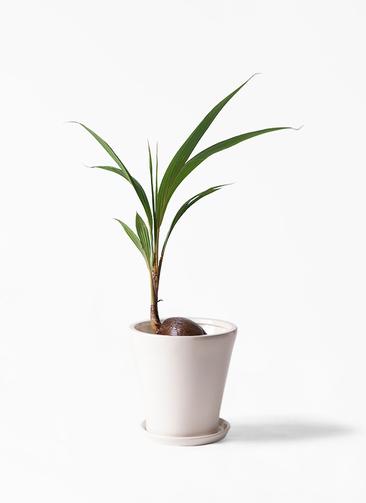 観葉植物 ココヤシ 7号 サブリナ 白 付き