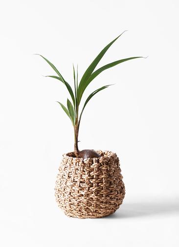 観葉植物 ココヤシ 7号 ラッシュバスケット Natural 付き