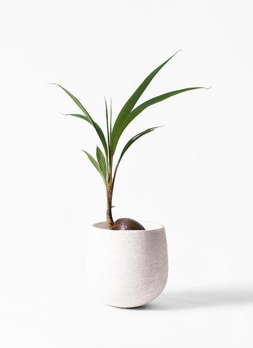 観葉植物 ココヤシ 7号 エコストーンwhite 付き