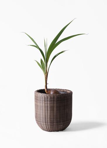 観葉植物 ココヤシ 7号 ウィッカーポットエッグ 茶 付き