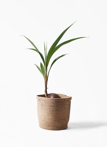 観葉植物 ココヤシ 7号 リブバスケットNatural 付き