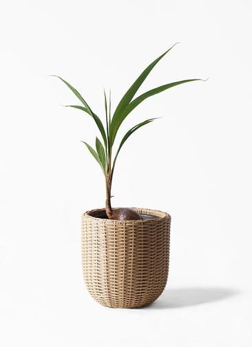 観葉植物 ココヤシ 7号 ウィッカーポットエッグ ベージュ 付き