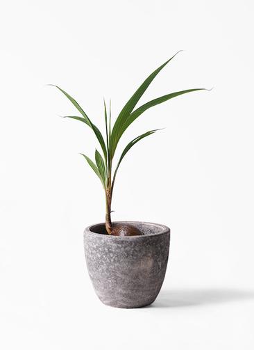 観葉植物 ココヤシ 7号 アビスソニアミドル 灰 付き