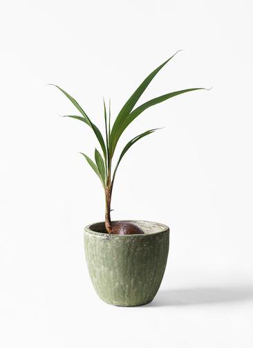 観葉植物 ココヤシ 7号 アビスソニアミドル 緑 付き
