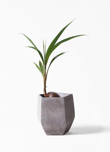観葉植物 ココヤシ 7号 ファイバークレイ Gray 付き