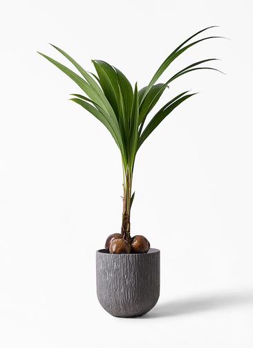 観葉植物 ココヤシ 10号 カルディナダークグレイ 付き