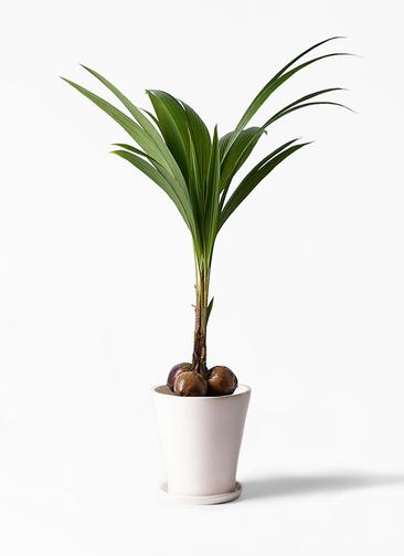 観葉植物 ココヤシ 10号 サブリナ 白 付き