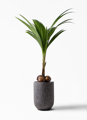 観葉植物 ココヤシ 10号 カルディナトールダークグレイ 付き