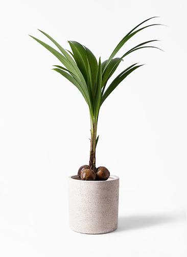 観葉植物 ココヤシ 10号 サンディ シリンダー 白 付き