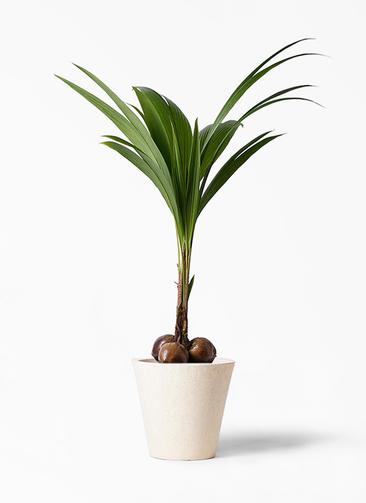 観葉植物 ココヤシ 10号 フォリオソリッド クリーム 付き