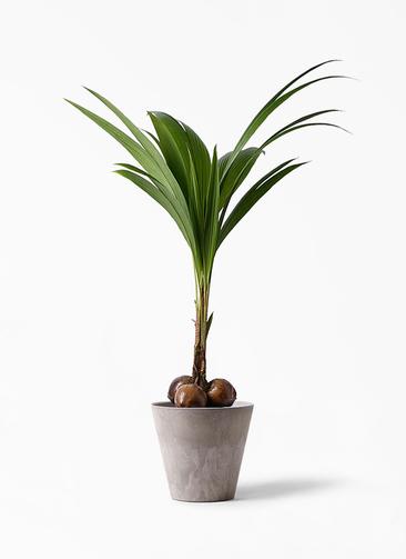 観葉植物 ココヤシ 10号 アートストーン ラウンド グレー 付き