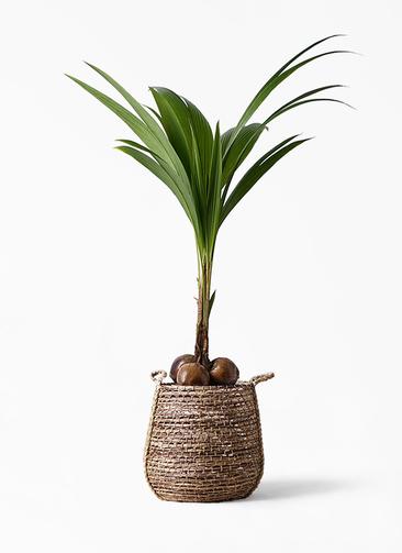 観葉植物 ココヤシ 10号 リゲル 茶 付き