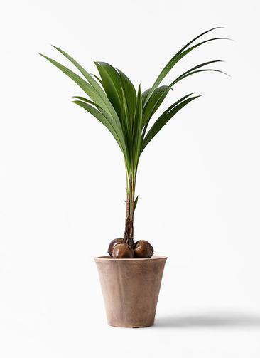 観葉植物 ココヤシ 10号 ルーガ アンティコ ソリッド 付き