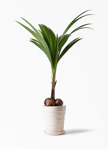 観葉植物 ココヤシ 10号 サバトリア 白 付き