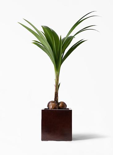 観葉植物 ココヤシ 10号 MOKU キューブ 付き