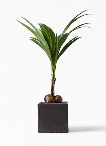 観葉植物 ココヤシ 10号 ファイバークレイ キューブ 付き