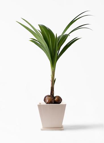 観葉植物 ココヤシ 10号 パウダーストーン 白 付き