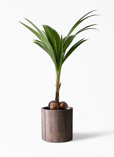 観葉植物 ココヤシ 10号 アルファシリンダープランター 付き