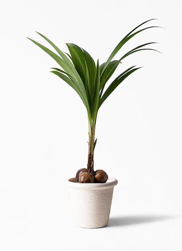 観葉植物 ココヤシ 10号 ビアスリムス 白 付き