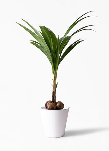観葉植物 ココヤシ 10号 フォリオソリッド 白 付き
