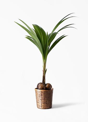 観葉植物 ココヤシ 10号 竹バスケット 付き