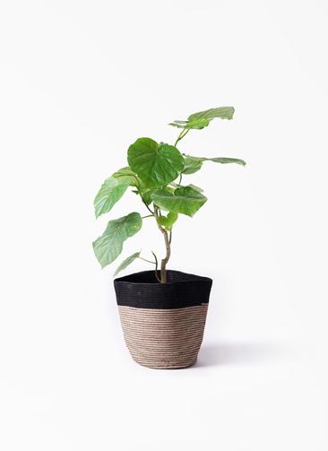 観葉植物 フィカス ウンベラータ 6号 ノーマル リブバスケットNatural and Black 付き