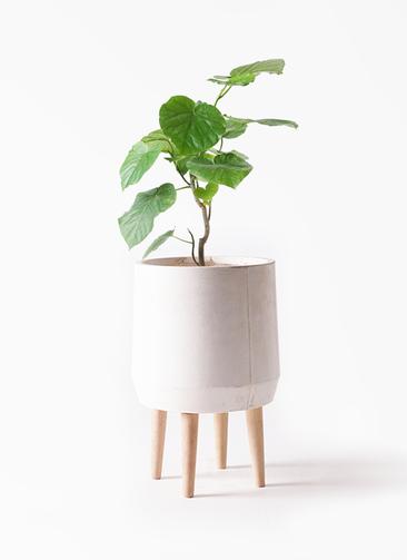 観葉植物 フィカス ウンベラータ 6号 ノーマル ファイバークレイ white 付き