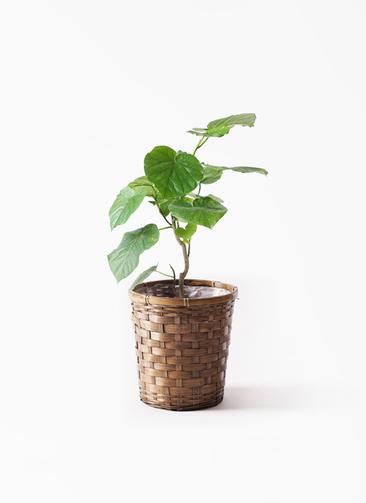 観葉植物 フィカス ウンベラータ 6号 ノーマル 竹バスケット 付き