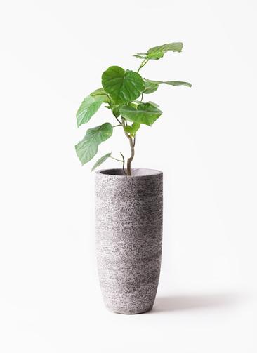 観葉植物 フィカス ウンベラータ 6号 ノーマル エコストーントールタイプ Gray 付き