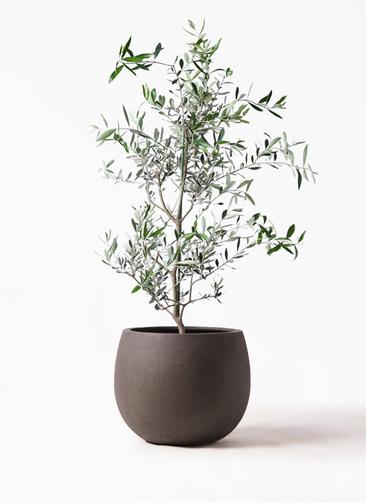 観葉植物 オリーブの木 8号 コレッジョラ テラニアス ローバルーン アンティークブラウン 付き