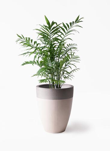 観葉植物 テーブルヤシ 7号 ファイバーストーンカプリ サンディホワイト 付き