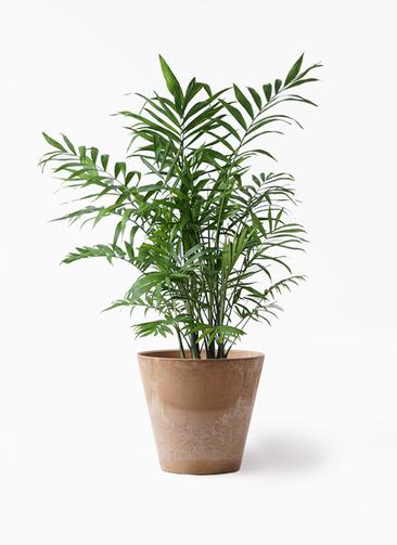 観葉植物 テーブルヤシ 7号 アートストーン ラウンド ベージュ 付き