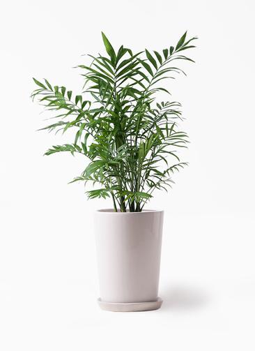 観葉植物 テーブルヤシ 7号 LO ラウンド 付き