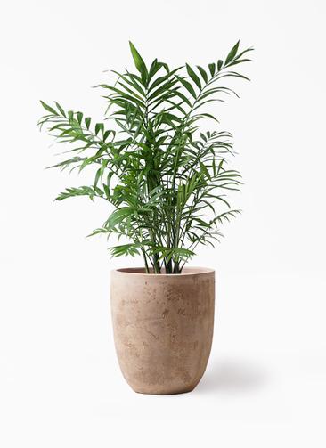 観葉植物 テーブルヤシ 7号 ルーガ アンティコ アルトエッグ 付き