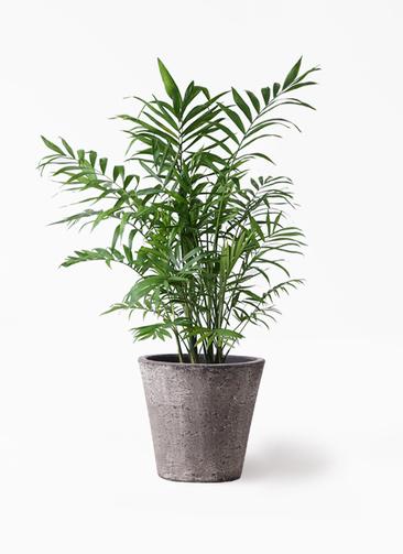 観葉植物 テーブルヤシ 7号 フォリオソリッド ブラックウォッシュ 付き