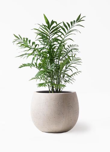観葉植物 テーブルヤシ 7号 テラニアス ローバルーン アンティークホワイト 付き