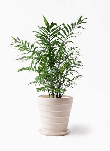 観葉植物 テーブルヤシ 7号 サバトリア 白 付き