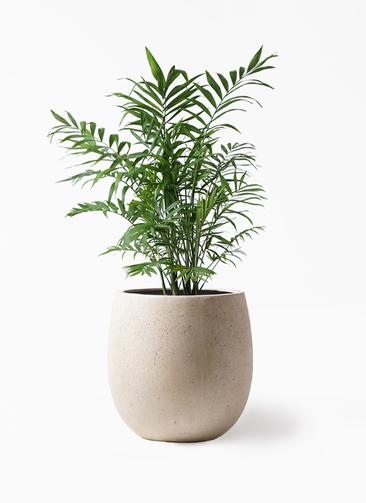 観葉植物 テーブルヤシ 7号 テラニアス バルーン アンティークホワイト 付き