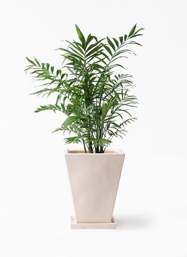 観葉植物 テーブルヤシ 7号 スクエアハット 白 付き