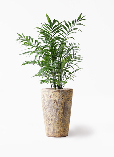 観葉植物 テーブルヤシ 7号 アトランティス クルーシブル 付き