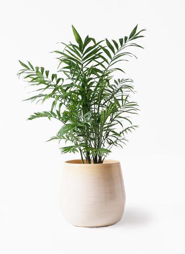 観葉植物 テーブルヤシ 7号 ササール 白 付き