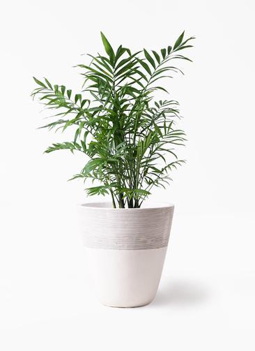 観葉植物 テーブルヤシ 7号 ジュピター 白 付き